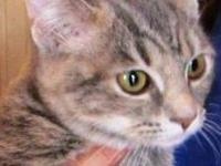 American Shorthair - Noel - Medium - Young - Female -