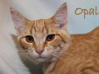 American Shorthair - Olivia - Medium - Adult - Female -