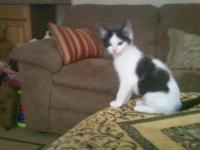 American Shorthair - Pepper - Medium - Baby - Male -
