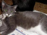 American Shorthair - Prince - Small - Young - Male -