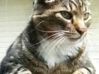 American Shorthair - Purrci - Large - Young - Male -
