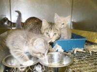 American Shorthair - Renee & Kittens - Small - Adult -