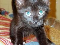 American Shorthair - Sally - Medium - Adult - Female -