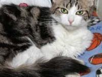 American Shorthair - Sam * Facilitated Listing* - Small
