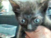 American Shorthair - Sasakwa - Medium - Baby - Female -