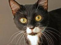 American Shorthair - Siobhan - Small - Adult - Female -