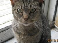 American Shorthair - Slyvia - Small - Adult - Female -