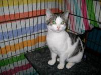 American Shorthair - Stella - Medium - Adult - Female -