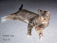 American Shorthair - Sweetie - Medium - Young - Female