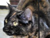 American Shorthair - Tessa - Small - Young - Female -