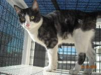 American Shorthair - Tuxedo - Medium - Young - Male -