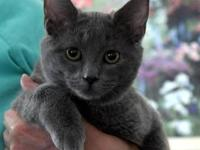 American Shorthair - Willie - Medium - Baby - Male -
