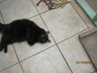 American Shorthair - Wilma - Small - Young - Female -