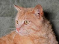 American Shorthair - Wilson - Medium - Adult - Male -