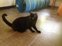 American Shorthair - Winston - Medium - Adult - Male -