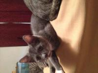 American Shorthair - Zumba - Medium - Young - Female -