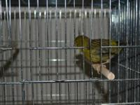 I am currently selling American Singer canaries...most
