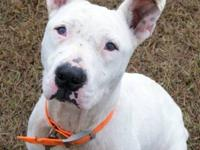 American Staffordshire Terrier - Abby - Medium - Adult