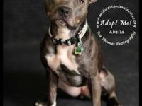 American Staffordshire Terrier - Abella - Small - Adult