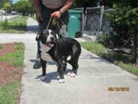 American Staffordshire Terrier - Aires - Large - Adult