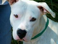 American Staffordshire Terrier - Akeela - Large - Adult