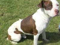 American Staffordshire Terrier - Baxter From Nesbit Co.