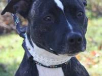 American Staffordshire Terrier - Bayleen - Medium -