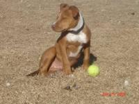 American Staffordshire Terrier - Beckley - Medium -