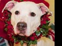American Staffordshire Terrier - Bianca - Medium -