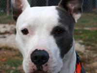 American Staffordshire Terrier - Big Boy - Large -