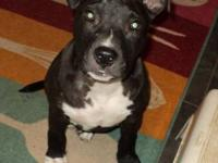 American Staffordshire Terrier - Bogey - Large - Baby -