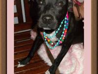 American Staffordshire Terrier - Breezy - Medium -