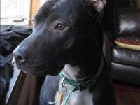 American Staffordshire Terrier - Brody - Medium - Adult