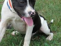 American Staffordshire Terrier - Buster - Medium -