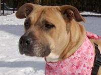 American Staffordshire Terrier - Buttercup - Large -