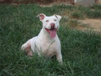 American Staffordshire Terrier - Buttercup - Medium -
