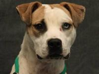 American Staffordshire Terrier - C.c. - Medium - Adult
