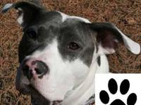 American Staffordshire Terrier - Cooper - Large - Adult