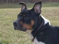 American Staffordshire Terrier - Dash - Large - Adult -