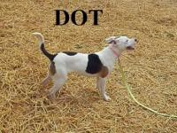 American Staffordshire Terrier - Dot - Medium - Young -