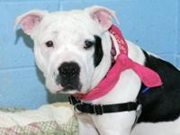 American Staffordshire Terrier - Elaine - Medium -