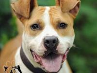 American Staffordshire Terrier - Elsie - Medium - Adult
