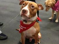 American Staffordshire Terrier - Ethan - Medium - Young