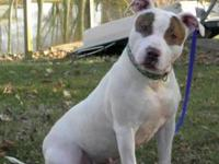 American Staffordshire Terrier - Fiona - Medium - Young