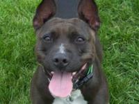 American Staffordshire Terrier - Francis - Large -