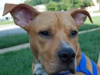American Staffordshire Terrier - Georgia - Large -