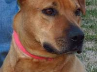 American Staffordshire Terrier - Ginger - Large - Adult