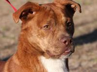 American Staffordshire Terrier - Hank - Large - Adult -