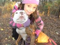 American Staffordshire Terrier - Help Me!!! - Medium -