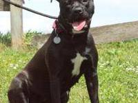 American Staffordshire Terrier - Isla - Large - Young -